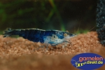 Blue Phantom Shrimp-Neocaridina davidi var. blue Phantom