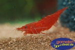 Red Fury Shrimp Neocaridina davidi var. red Fury