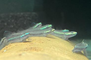 Neonblaue Algengrundel - Stiphodon atropurpureus