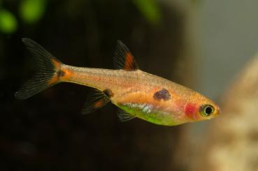 Zwergbärbling - Boraras maculatus