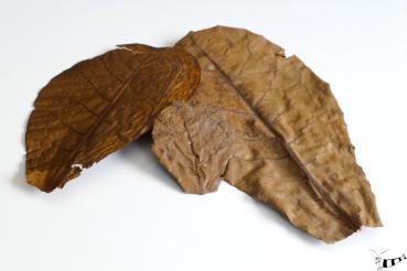 Seemandelbaumblätter - 10 Stück