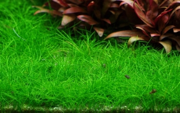 1-2-Grow! Eleocharis acicularis 'Mini' Mini Nadelsimse