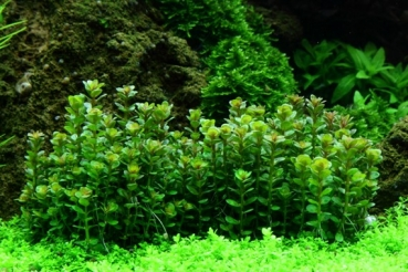 "1-2-Grow! Rotala ""Bonsai"""