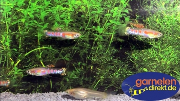 Guppy Ginga Rubra blond -Paar-