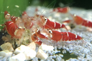 Super Crystal Red - Caridina logemanni