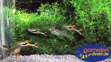 Guppy Wildform Endler -Paar-