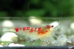 Red Calceo Garnele - Caridina sp.