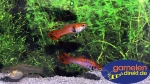Guppy Roter Tiger Endler -Paar-