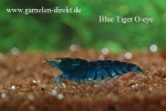 Blaue Tigergarnele Orange Eye - Caridina mariae