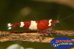 Taiwan Bee, Red Wine / Red Ruby – Caridina logemanni